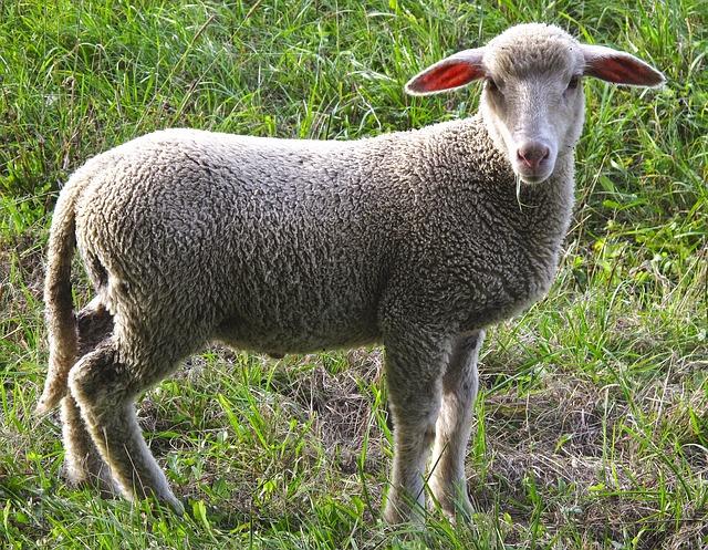 mladá ovce