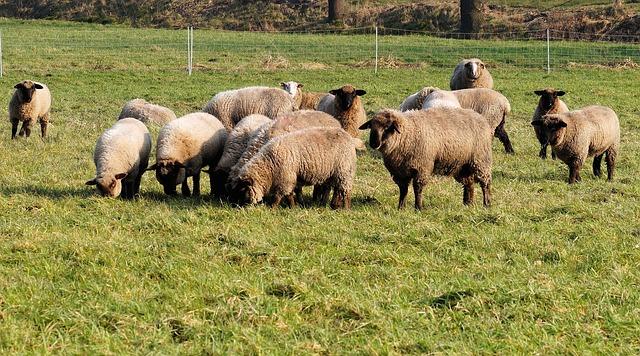 ovce na pastvě